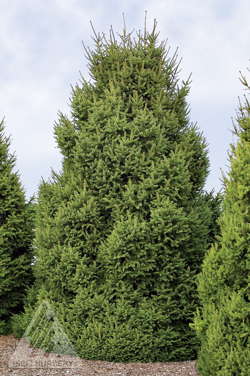 Picea abies clanbrassiliana stricta dwarf norway spruce kigi