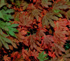 Dwarf Vine Maple