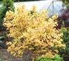 Acer circinatum 'Sunglow' Vine Maple