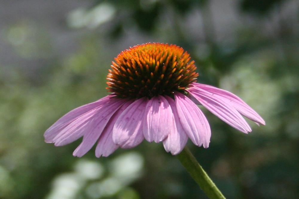Echinacea - Organic