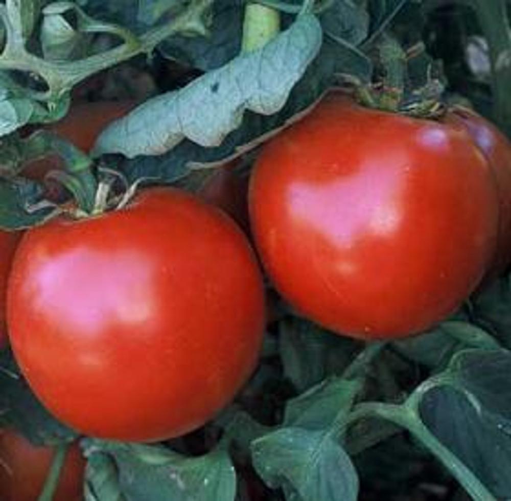 Abe Lincoln Tomato