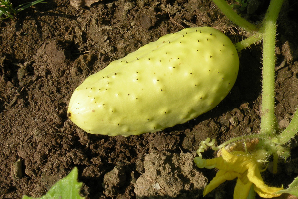 Boothby's Blonde Cucumber - Organic