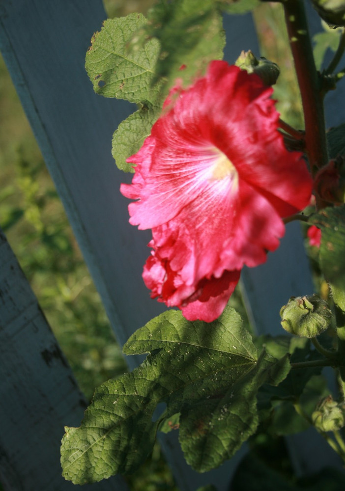 Hollyhock, Indian Spring