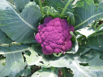 Violet of Sicily Cauliflower - Bulk *