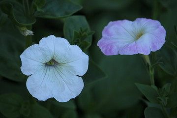 Petunia, Dwarf Mix