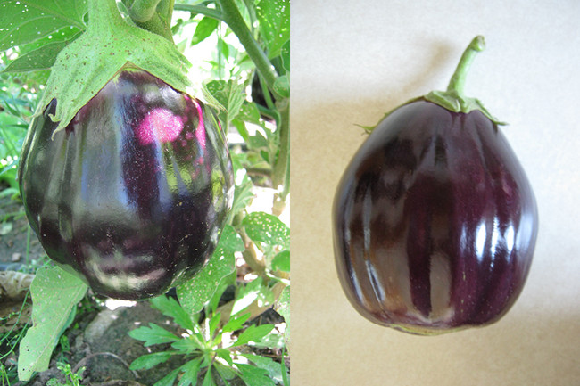 Black Beauty Eggplant - Organic