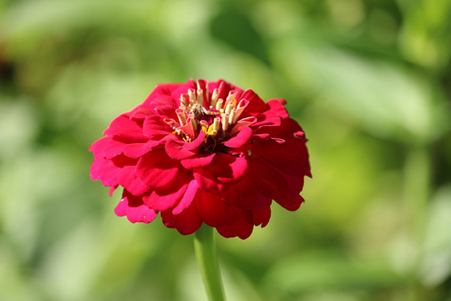 Zinnia - Lilliput Mix