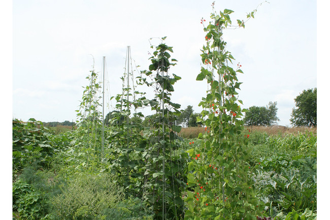 'Bean Pole Trellis Topper