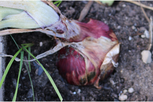 Red Cipollini Onion
