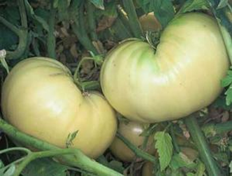 Great White Tomato - Organic