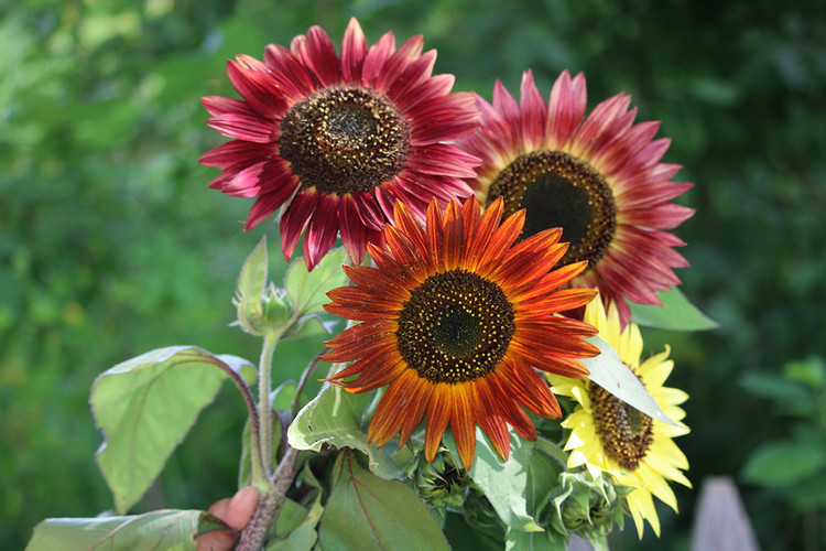 Sunflower, Autumn Beauty Mix