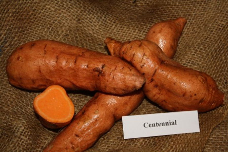 Centennial Sweet Potato -  April to June Shipping