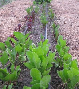 beets-crop-small.jpg