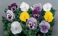 Pansy, Swiss Giant