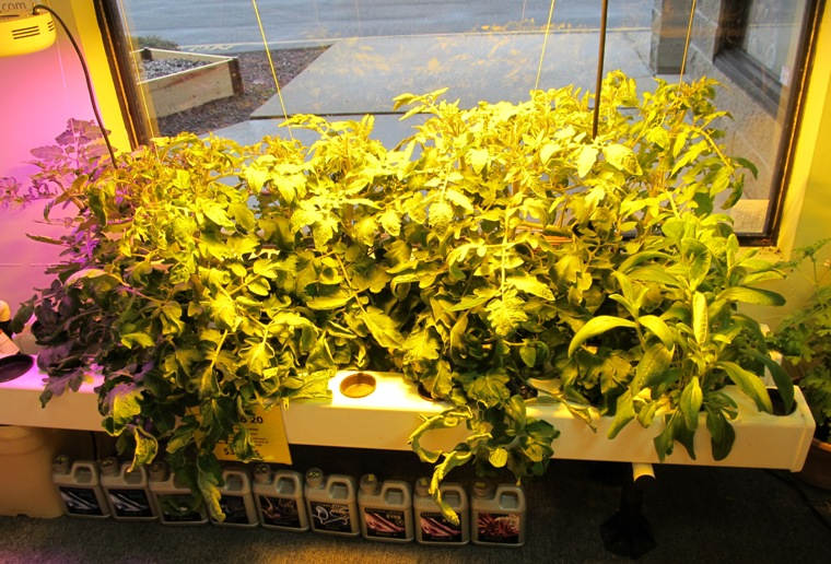 Tomato Plants grown with Cyco Flower Nutrients
