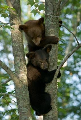 Pair of bears - or pear of bares?