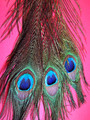Peacock Feathers - set of 3