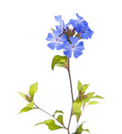 Bach Flower Essence - Cerato