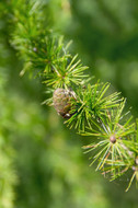 Bach Flower Essence - Larch