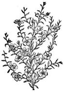 Tea Tree (Melaleuca alternifolia) Essential Oil - 5 ml