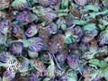 Wild Red Clover Flowers ~ Herbal Alchemy