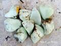 Lemon Citron Chrysoprase Tumbled Gemstones