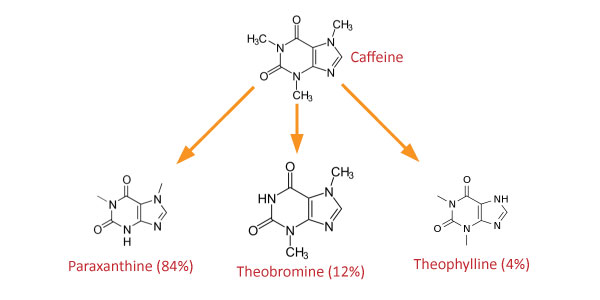 How does Caffeine metabolize?
