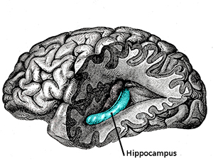 Noopept and the Hippocampus