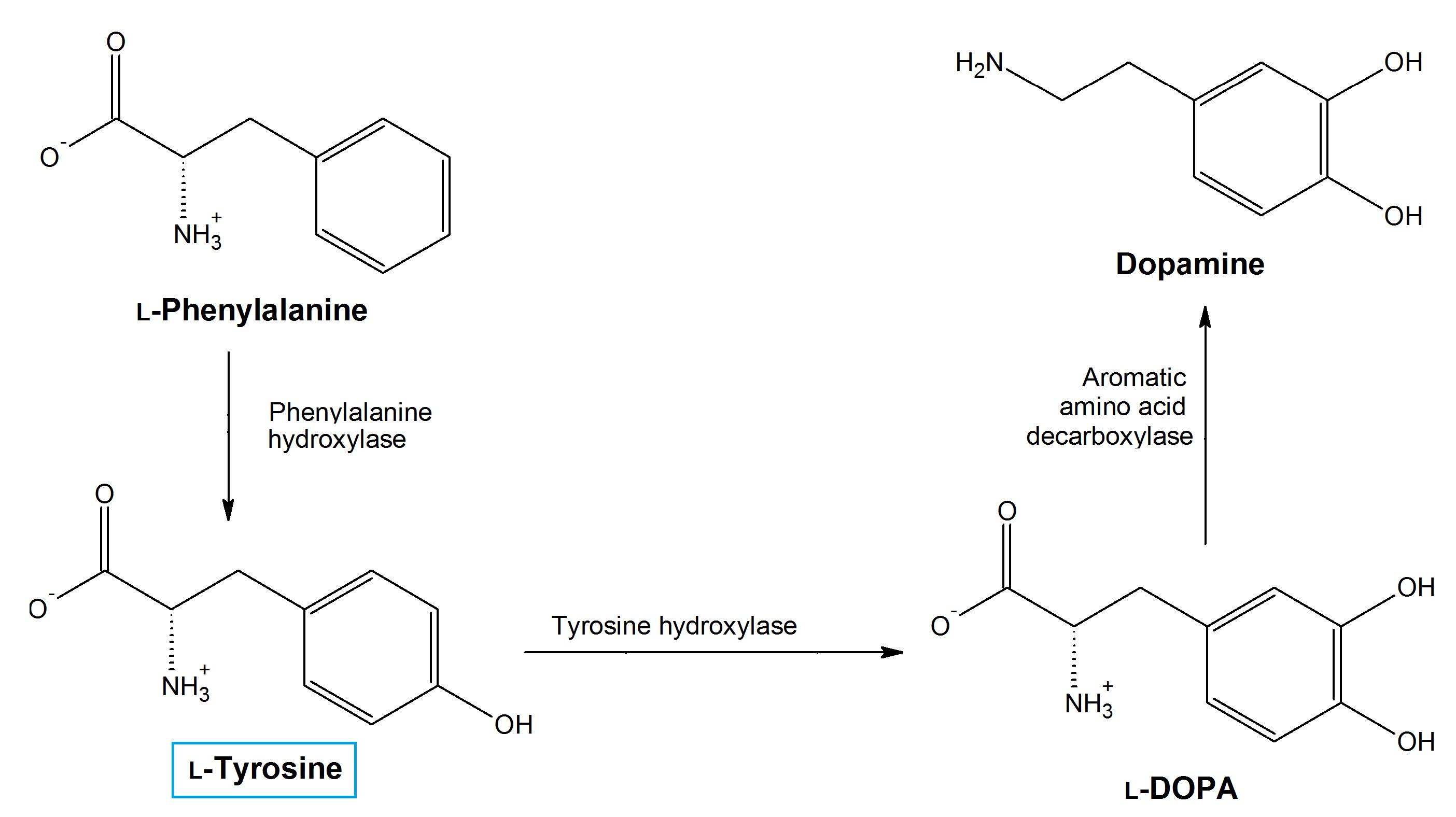 l-tyrosine-enzymes.jpg