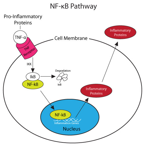 NF-KB Pathway