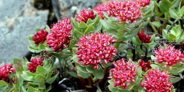 Rhodiola Crenulata Plant