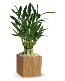 Lucky bamboo plant a nice gift to be sent to your friends or family in Sweden.