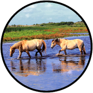 Horses in Water BR