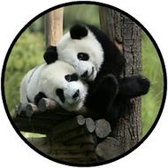 Panda Hugs BR