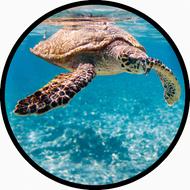 Sea Turtle BR