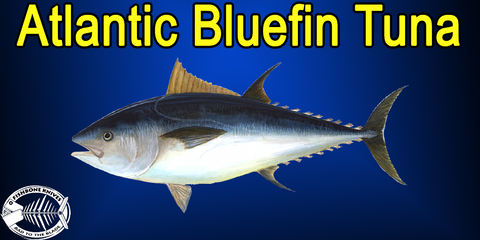 Best Knives to Fillet Atlantic Bluefin Tuna