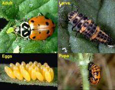 Lady Bugs, 1 quart