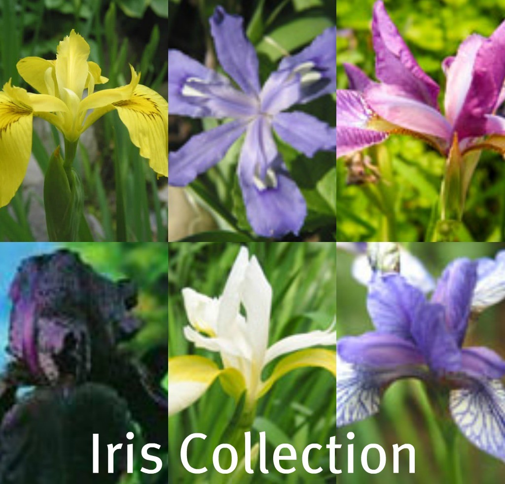 iris-collection.jpg