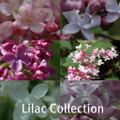 Lilac Collection
