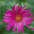 "Aster ""September Ruby"""