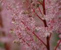 """Astilbe """"Peach blossom"""""""
