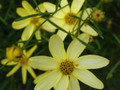"Coreopsis ""Moonbeam"""