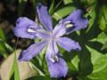 Crested Iris