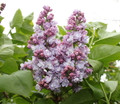 Lilac Double Lavender