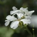 Money Plant  (White)