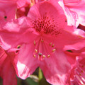 Rhododendron  (Red)