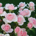 Rose Polyantha Rose