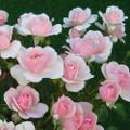 Rose Polyantha Rose