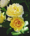 Rose Yellow Heirloom