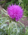 Thistle (Blessed)